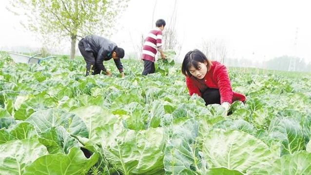 發展特色種植 助力鄉村振興